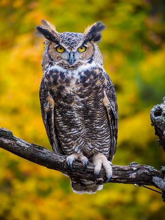 Fall Color-Birds of Prey, plus a 'posum